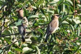 Cedar Waxwing Displaying