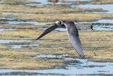 Black Tern 3