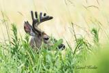 Buck Hiding