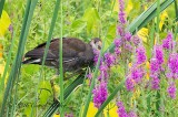 Common Gallinule Eating Loosestrife