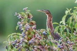 A Bushed Green Heron