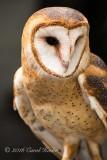 Captive Barn Owl