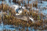 Yellowlegs Going at It