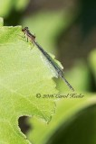 Female Familiar Bluet