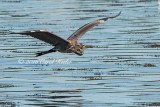 Great Blue Heron Gliding