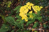 Yellow with Ferns