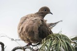 Inquisitive Mourning Dove