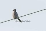 Watchful Northern Shrike