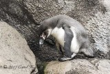 Humbolt Penguin Youngster