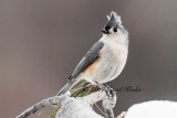 Titmouse Bad Hair Day