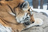 Napping Amur Tiger