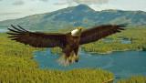 EAGLE-Prince Edward Island, Ketchikan, Alaska  IMG_0869