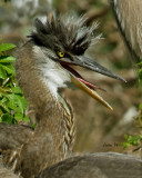GREAT BLUE HERON CHICK   IMG_4756