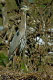 GREAT BLUE HERON AND CHICK IN NEST  IMG_4684