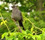 Mockingbirds and Thrashers of the FWG