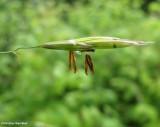 Smooth brome (Bromus inermis)