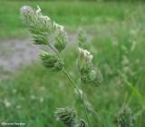 Orchard grass (Dactylis glomerata)