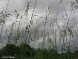 Reed canary grass (Phalaris arundinacea)