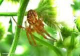 Orb-weaver (Neoscona)
