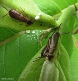 Earwigs  (Dermaptera)