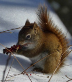 Red squirrel with sumac seedhead