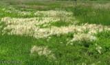 Fox-tail barley (Hordeum jubatum)