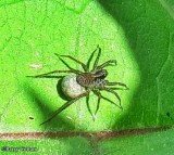 Wolf Spiders (Family: Lycosidae)
