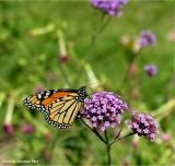 Monarch butterfly on Verbena bonariensis