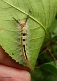 White-marked tussock caterpillar (Orygia leucostigma), #8316