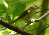 Vireos of the FWG