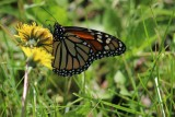 Monarch on Dandelion