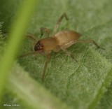 Sac Spiders (Family: Clubionidae)