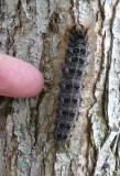 Gypsy moth caterpillar (Lymantria dispar), #8318