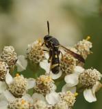 Leucospid Wasps (Family: Leucospidae)