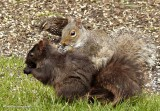Grey squirrel, both colour phases