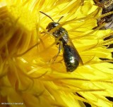 Small carpenter bee (Ceratina mikmaqi)