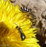 Small carpenter bee and sweat bee