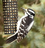 Woodpeckers of the FWG