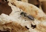 Andrenid bee (Andrena)