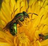 Sweat bee (Augochlora sp.)?
