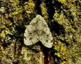 Little white lichen moth (Clemensia albata), #8098