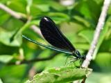 Broad-winged Damselflies (Family Calopterygidae)