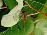 Cherry-faced Meadowhawk (Sympetrum internum)