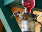 Annas hummer male on feeder Lake Tapps