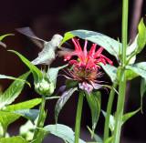 Black chin female in bee balm
