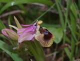 O. tenthredinifera