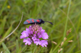 st. jansvlinder met pollinia op roltong - Zygaena filipendulae with pollinia