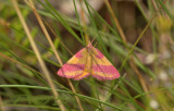 Lythria cruentaria,  zuringspanner vrouw