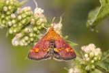 Muntvlinder, Pyrausta purpuralis man