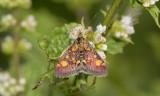 Muntvlinder, Pyrausta purpuralis vrouw